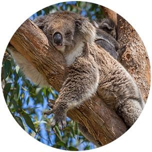 Sinnbild für Knorpelschaden durch Bewegungsmangel - Koala liegt auf einem Ast herum