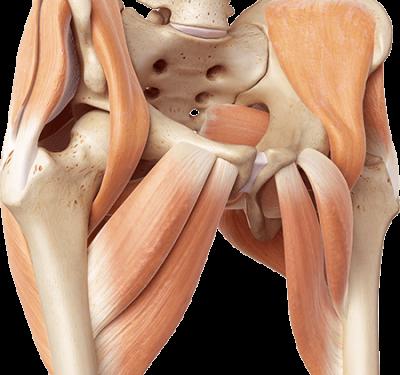 Eine 3D Grafik von der Hüfte mit Knochen und Muskeln
