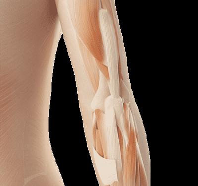 3D Grafik von einem Ellenbogen mit Muskeln und Sehnen